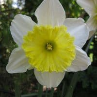 Ready Potted 1 Litre Pot   ICE FOLLIES LARGE CUPPED DAFFODIL